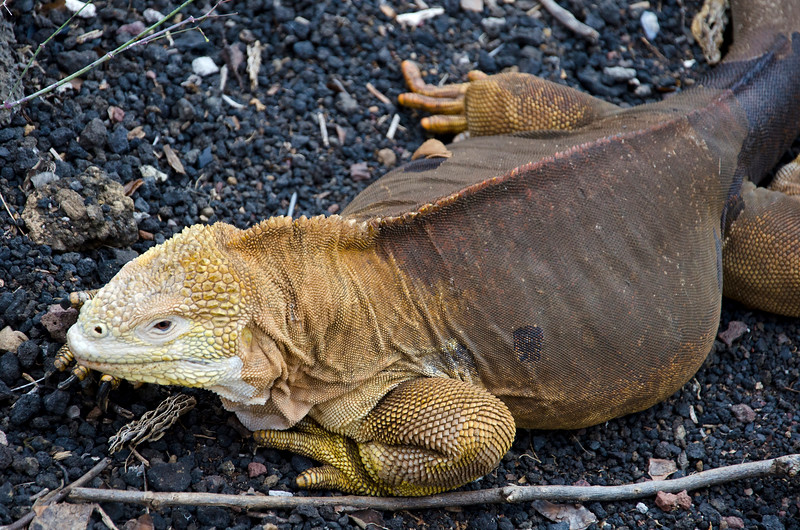 Land Iguana, Darwin Research Center
