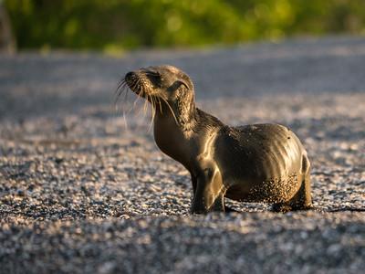 Sick Baby Galapagos Sea Lion - Fernandina