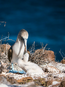 Blue Footed Boobies - North Seymour Island