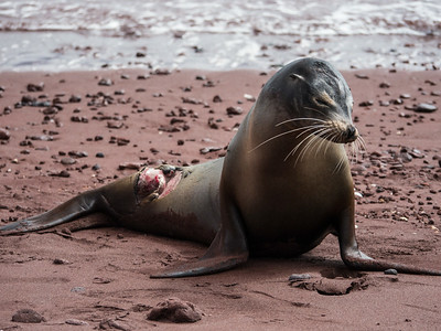 A Galapagos Sea Lion recovers from a shark bite.