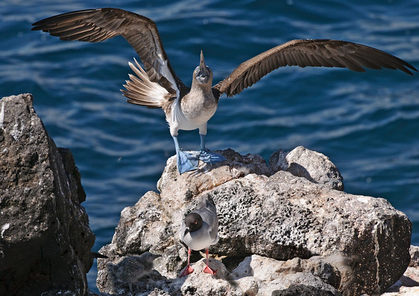 Blue-footed Booby, Swallow-tail Gull with Chick