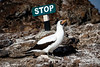 Nazca Booby with sign