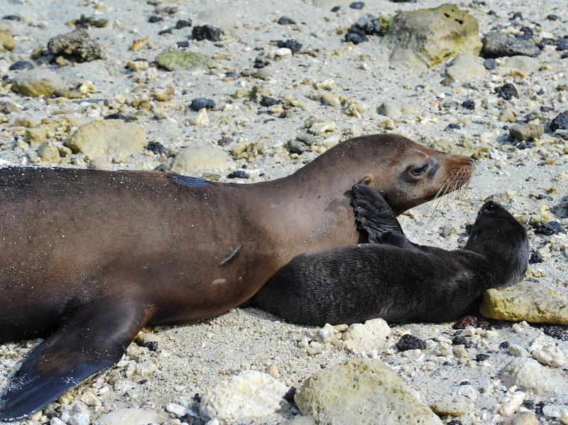 Sea lion and newborn cub bondning