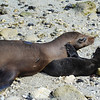 Sea lion and newborn cub bondning