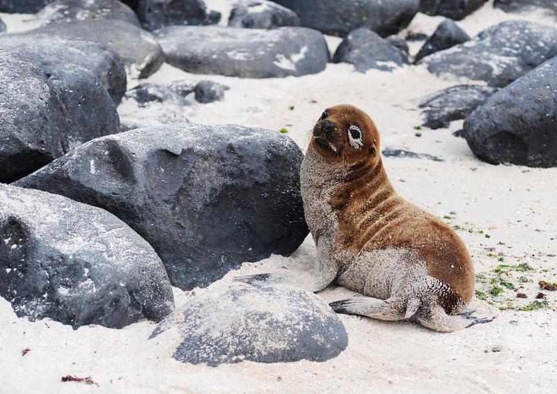 Baby sea lion looking cute