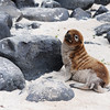 Baby sea lion looking cute