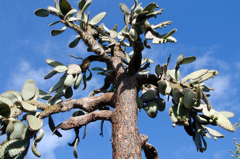 Opuntia Tree