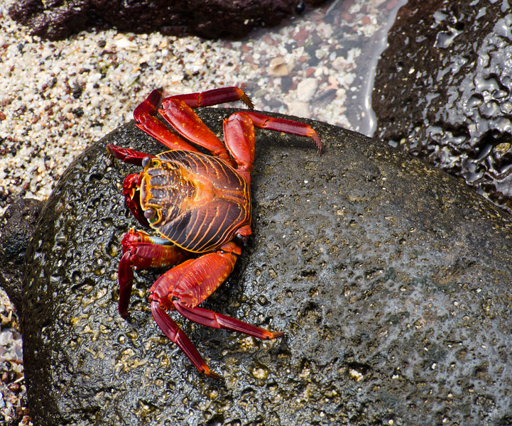 Sally Light-footed crab