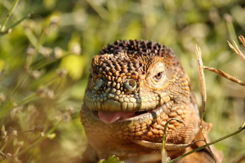 land iguana tongue