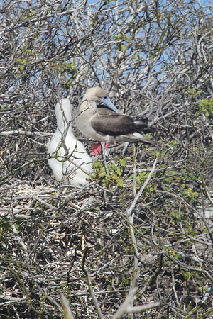 this red footed boobie baby (still with down) is almost as large as the adult