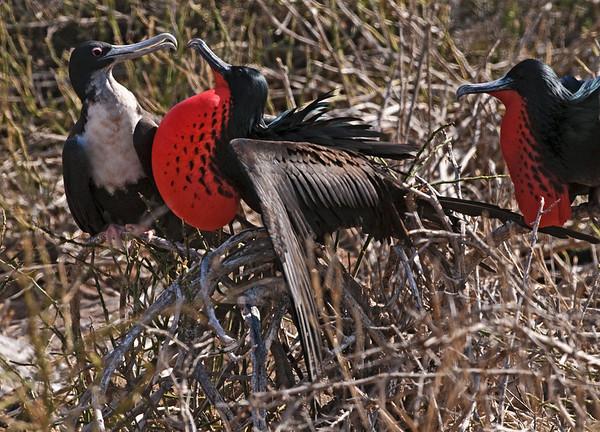 Great Frigatebirds