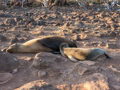Nursing Galapagos Sea Lion - North Seymour Island