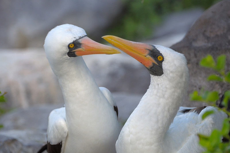 A pair of Nazca Boobies.