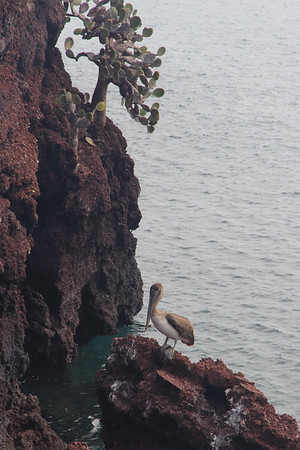 pelican on Rabida Island