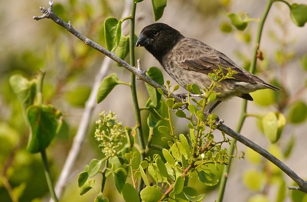 Tree Finch