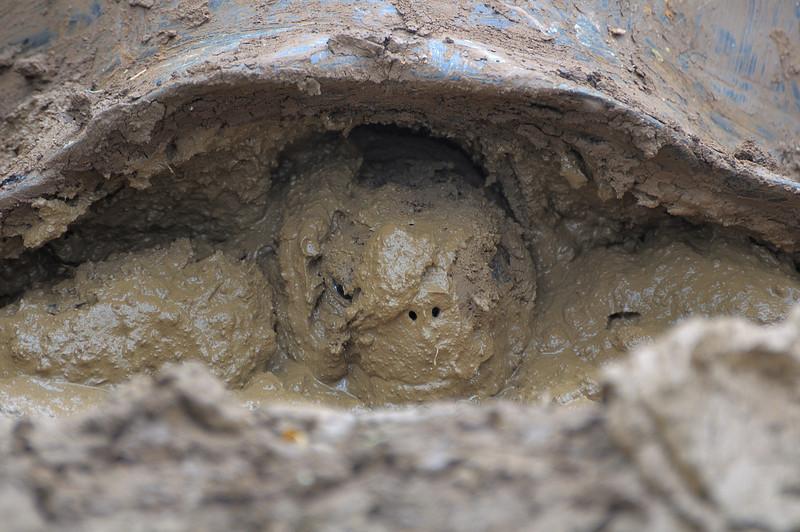 Another tortoise enjoying the mud.