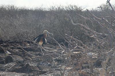 female Frigatebird