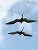 A pair of Frigate birds soar above the boat enroute.  They were always around, hitching free rides by catching the boats windward air.