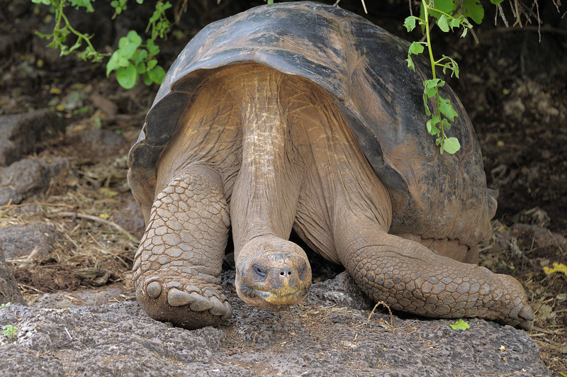 A Galapagos Tortoise at the Charles Darwin Research Station.