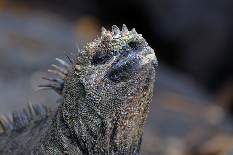 Not just a pretty face, the Marine Iguana's were everywhere, usually in middle of the hard packed walking trails where it is warm.