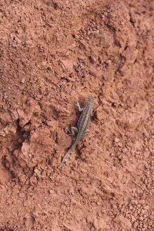 lava lizard with a new tail because part of it had broken off