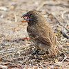 Large Ground Finch