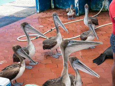 Pelican's hanging out at the fish market.