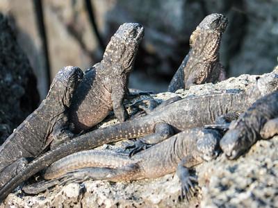 Marine Iguana, Fernandina Island
