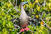 A Red-footed Booby