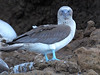 A Blue-footed Booby checks out the tourists.....