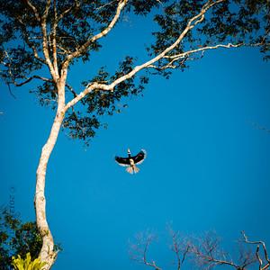 BIRD - Pied hornbill-1738