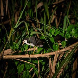 BIRD - mud hens-1597