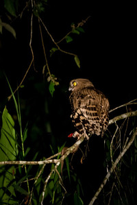 BIRD - Buffy fish owl with dinner-1569