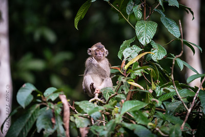 MONKEY - ?pig tail macaque?-2353