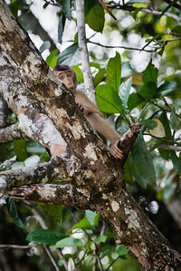 MONKEY - Pig tailed macaque-1046