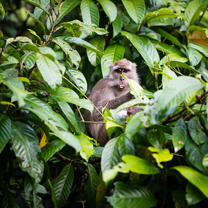 MONKEY - Long tailed macaque-2340