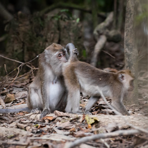MONKEY - Long tailed macaque-2294