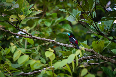 BIRD - Red and black broadbill-1713
