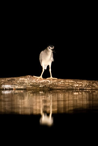BIRD - night heron-1514