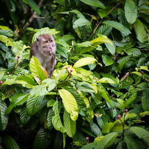 MONKEY - Long tailed macaque-2328