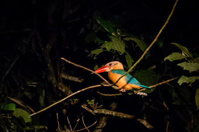 BIRD - stork billed kingfisher-2648