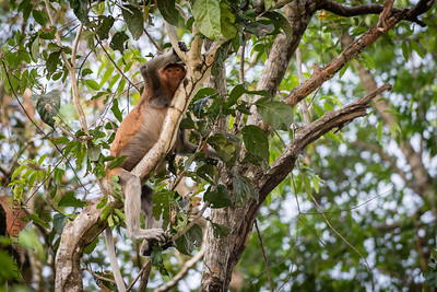 MONKEY - Long tailed macaque-2303