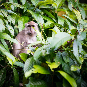 MONKEY - Long tailed macaque-2345