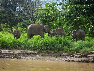 © 2013 HAZWAN SUBAN ELEPHANTS - pygmy-3431 Elephant were on the move as we were on the river. My copyright got on 3 photos by accident. They are the photos shared by my guide Hazwan Suban hazwan1603@gmail.com...He is a fantastic guide (especially for birding) and a very nice person!!!