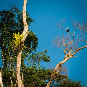 BIRD - Pied hornbill-1732