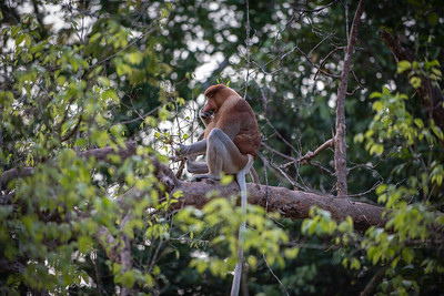 1388- Proboscis monkeys survive mainly on a diet of leaves, seeds, and unripe fruits but will occasionally consume insects as well. They have complex, chambered stomachs that rely on a host of symbiotic bacteria for digestion.