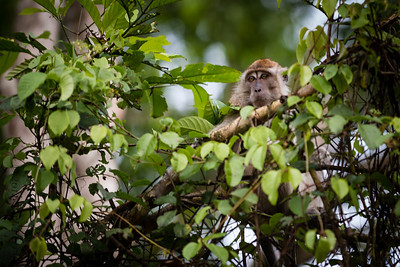 MONKEY - Long tailed macaque-2211