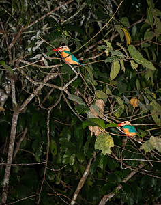 BIRD - stork billed kingfisher-2649
