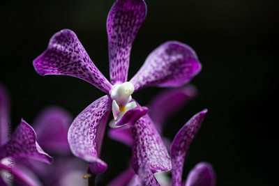 ORCHID --1960