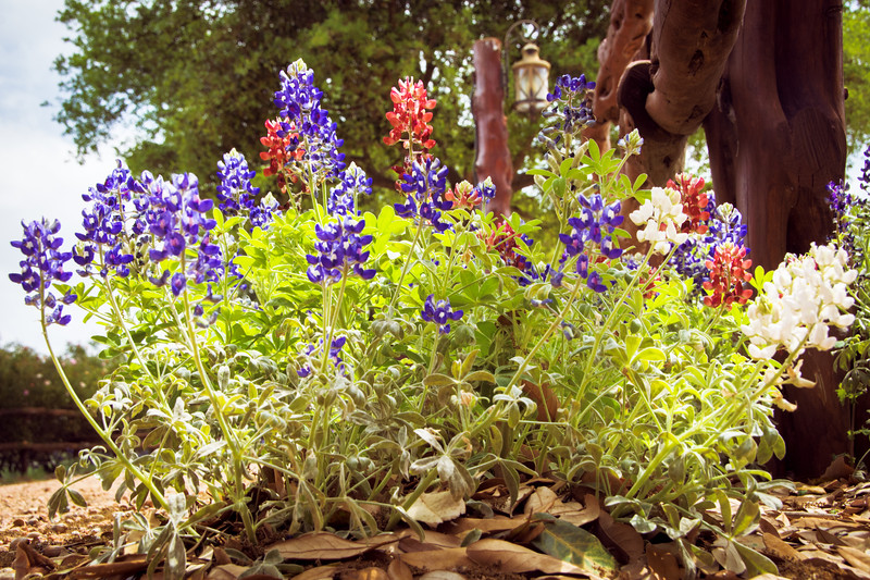 "This photo was taken at Wildseed Farms, Fredericksburg, TX. Bluebonnet hunting from Inks Lake to Buchanan Lake, to Lukenbach, Fredericksburg and Marble Falls, Monday, April 6, 2015. ©2015  <a href=""http://www.KLMarkertPhoto.com"">http://www.KLMarkertPhoto.com</a>"